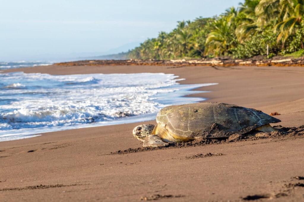 Playa Tortuguero Costa Rica
