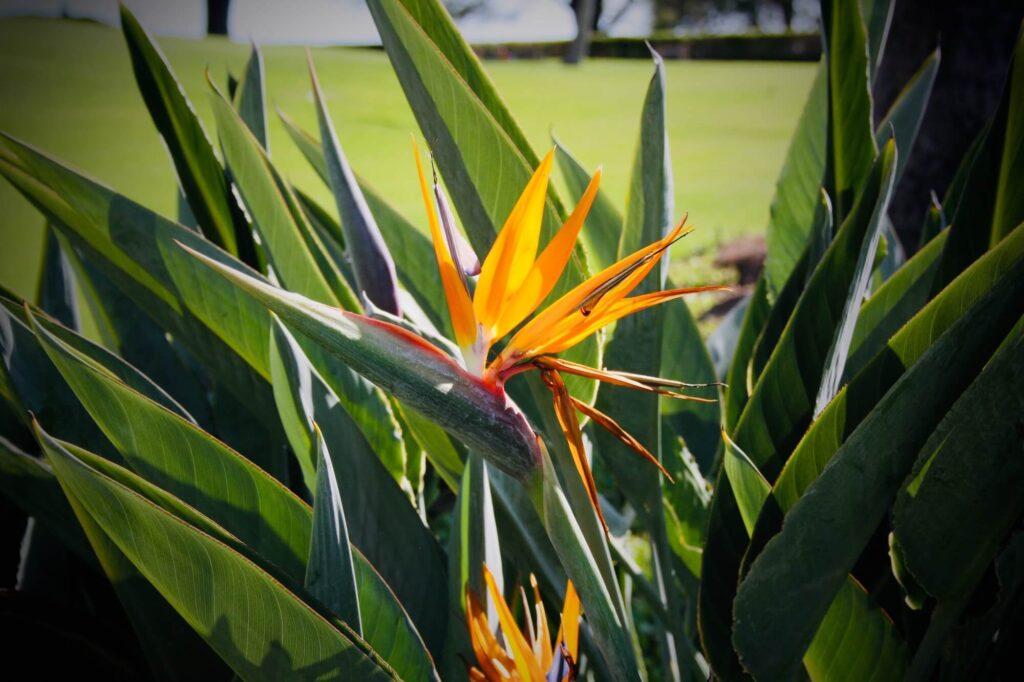 Bird of Paradise flower, Madeira