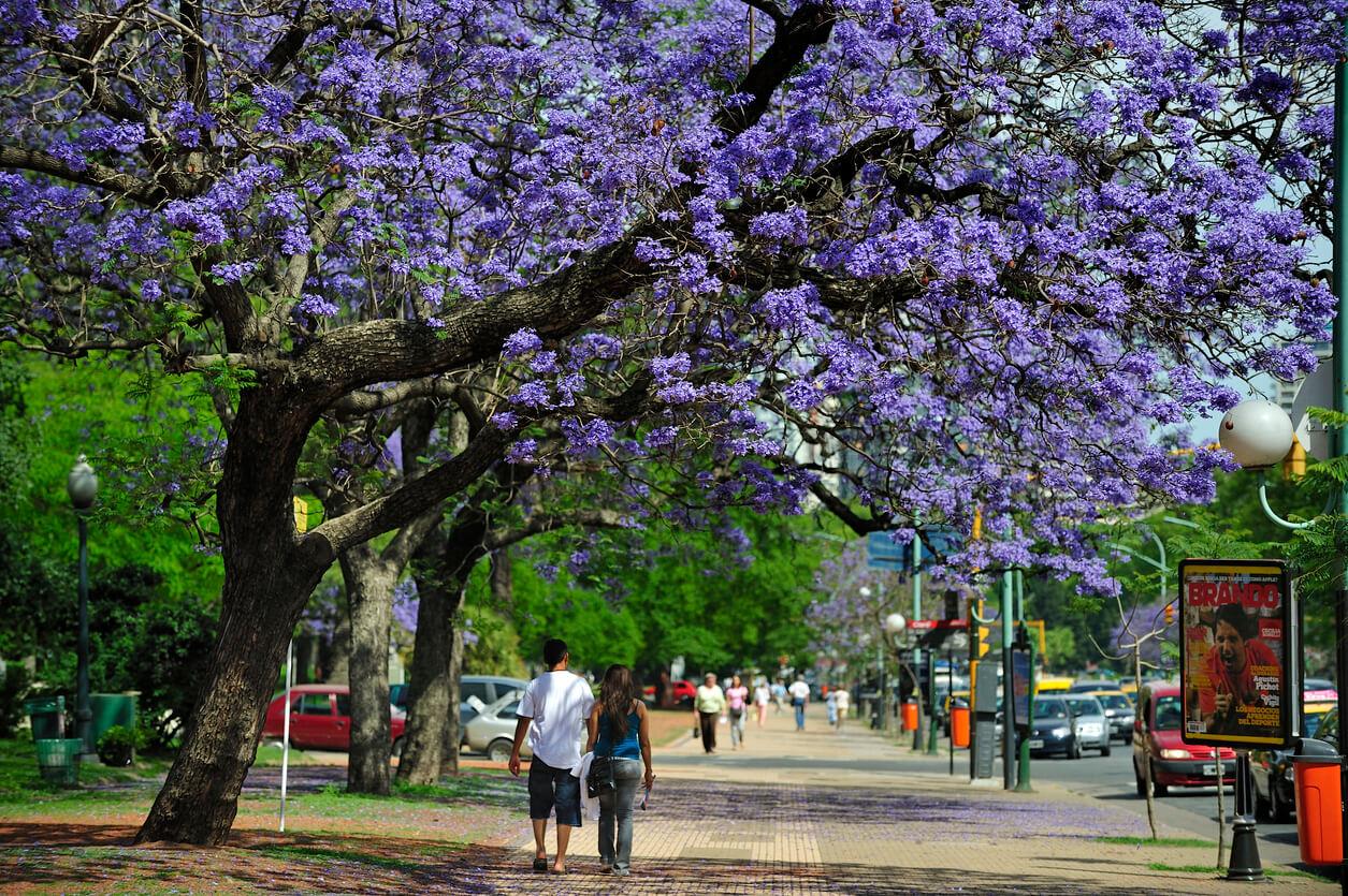 Jacaranda tree in November, Buenos Aires